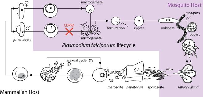 Malaria Life Cycle Diagram Malaria Life Cycle